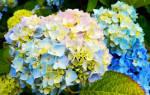 Цветная гортензия садовая посадка и уход в открытом грунте