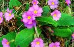 Цветы цветущие весной многолетние