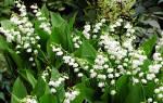 Вырастить ландыши из семян собранных в лесу