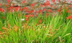 Японский гладиолус посадка и уход осенью