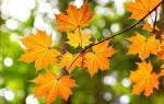 Клен посадка осенью и уход