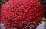 Бересклет уход осенью