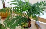 Комнатное растение похожее на пальму с тонкими листьями