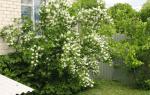 Как пересадить жасмин садовый?