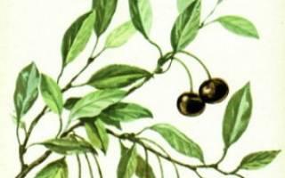 Как ухаживать за степной вишней?
