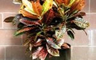 Особенности выращивания кодиеума