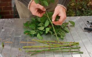 Как размножить розы черенками в домашних условиях в картошке?