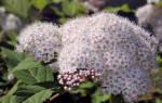 Как ухаживать за спиреей после цветения?
