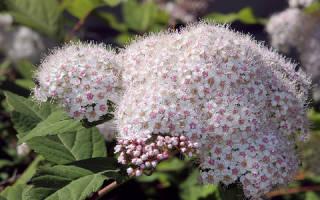 Особенности выращивания и виды спиреи