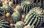Виды кактусов с картинками и названиями