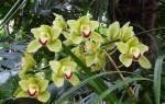 Как ухаживать за орхидеей цимбидиум?