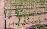 Два насоса накачивают воду в бак для полива помидоров