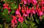 Фуксия выращивание и уход в домашних условиях осенью