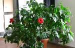 Китайская роза уход осенью и зимой