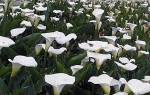 Садовые каллы уход осенью