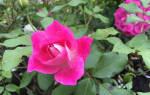 Бордюрные розы посадка и уход осенью