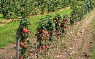 Яблоня колоновидная посадка и уход осенью