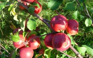 Яблоня лобо уход осенью