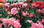 Розы садовые как выращивать