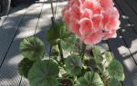 Как ухаживать за цветком герань в домашних условиях?
