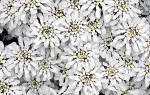 Цветок иберис посадка и уход